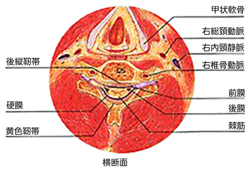 (図2)頚椎の解剖(横断面)