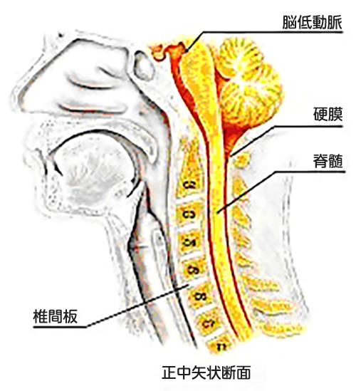 (図1)頚椎の解剖