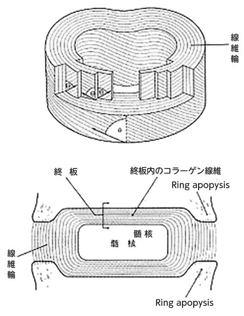 (図2)腰椎椎間板の構造