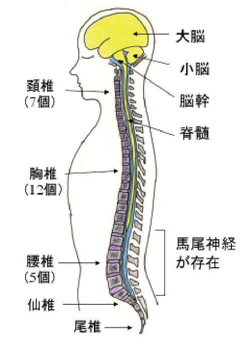 (図1)脳、脊髄、脊椎の位置関係